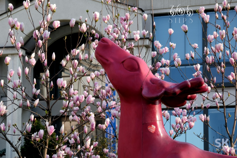 Jelonek i cieszyńskie magnolie