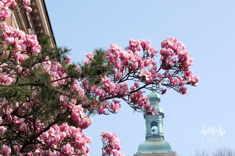 Szlak kwitnących Magnolii