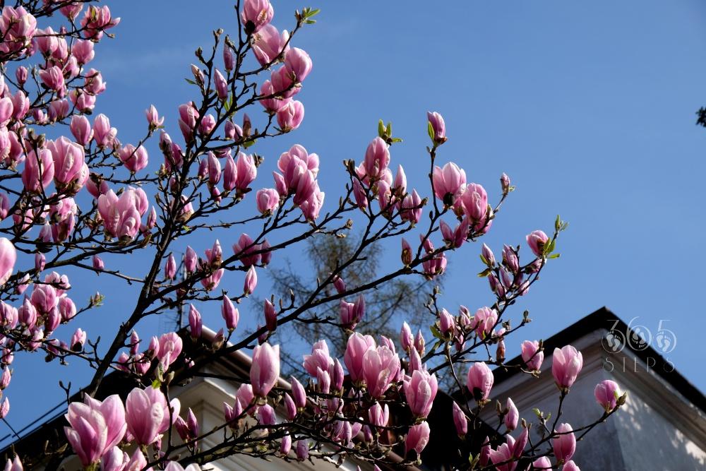 Cieszyńskie Magnolie, Szlak Kwitnących Magnolii w Cieszynie