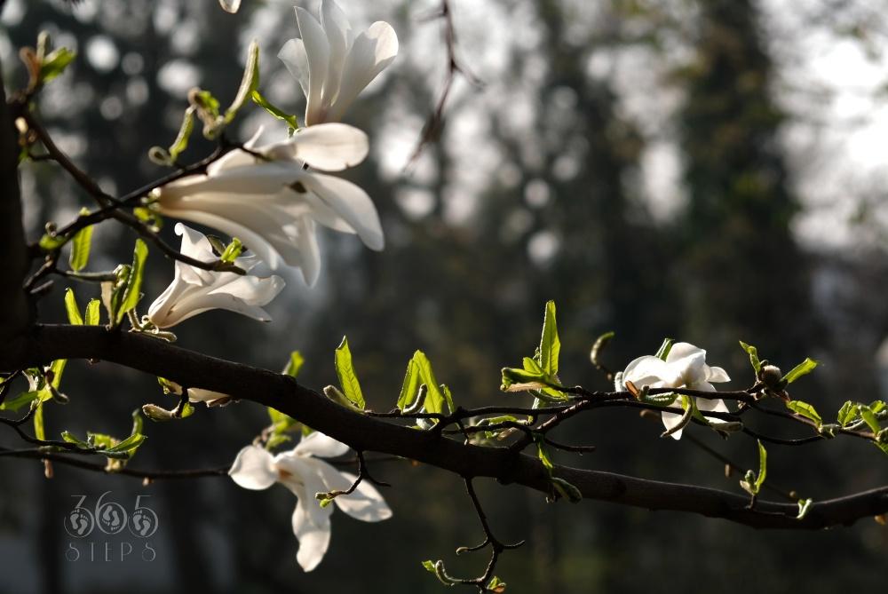 magnolie na Wzgórzu Zamkowym w Cieszynie